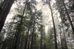 Redwood Forest - 1